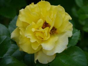 Rosa 'Lichtkönigin Lucia', Garten Halwax
