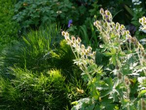 Peucedanum longifolium, bosnischer Haarstrang, Geranium Samenstand, im Gegenlicht, Vorgarten Halwax