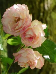 Rose 'Eden' Garten Halwax