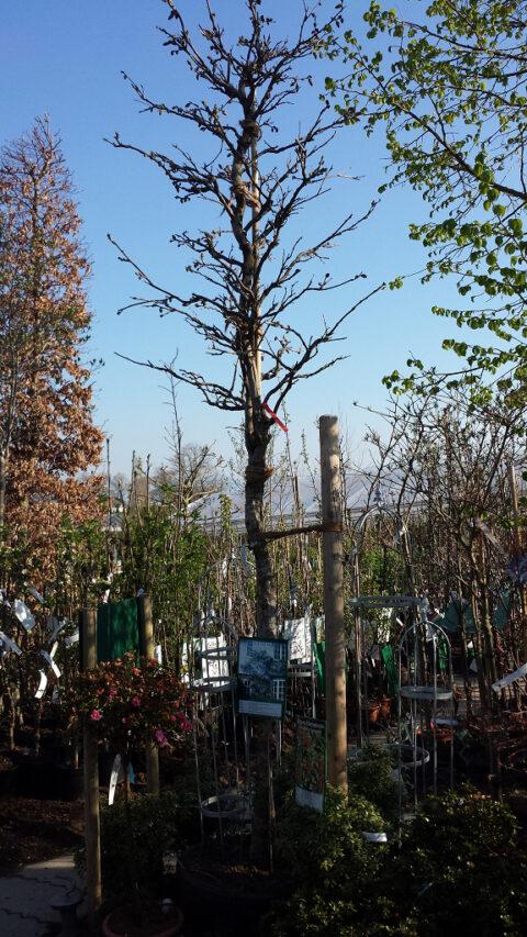 Blauregen, als Baum gezogen in der Gärtnerei