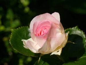 Rose 'Eden' Rosen- und Clematisgarten Halwax