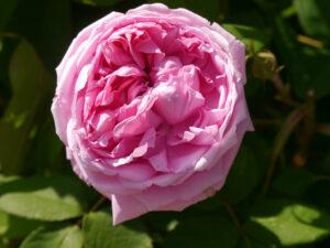Rosa 'Mme. Knorr', Rosen- und Clematisgarten Halwax