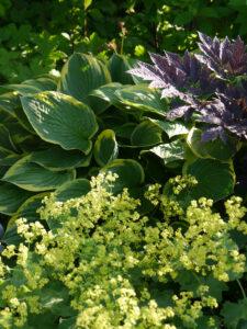 Hosta, Actea, Alchemilla, Rosen- und Clematisgarten, Garten Halwax