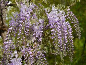 Wisteria-Blüte in Wurzerlsgarten