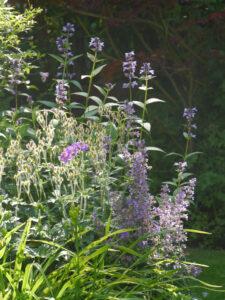 Nepetea, Hemerocallis und Geranium im Gegenlicht, Garten Halwax im Gegenlicht