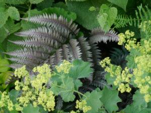 Alchemilla mollis und japanischer Schmuckfarn, Rosen- und Clematisgarten, Garten Halwax