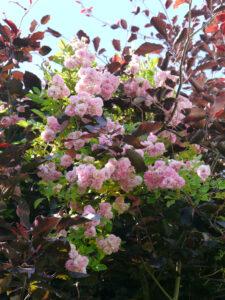 Rosa 'Pink Ghislaine de Feligonde', Fagus sylvatica 'Pendula' Hängeblutbuche, Halwax