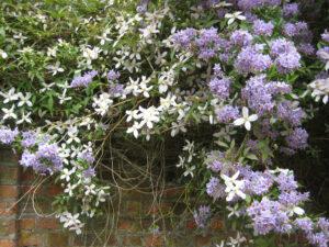 Clematis und Solanum im Mauerbeet des Long Gardens von Cliveden