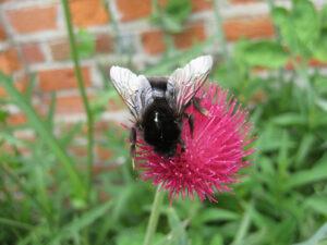 Holzbiene auf Cirsium atropurpureum, Cliveden