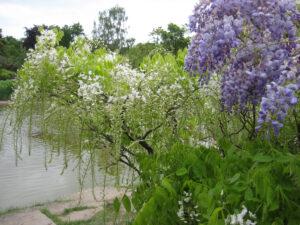 Wisteria sinensis im Wassergarten Cliveden