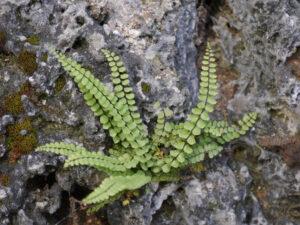 Asplenium trichomanes, braunstieliger Streifenfarn, Wurzerlsgarten