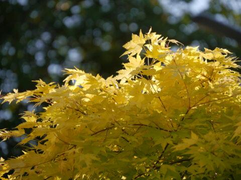 Acer palmatum 'Summergold'