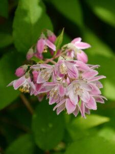 Deutzia rosea, Niedriger Sternchenstrauch, Wurzerlsgarten