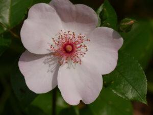 Rosa 'Sweet Pretty' Wurzerlsgarten
