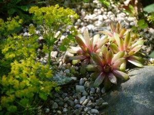 Euphorbia cyparissias 'Fens Ruby', Zypressen-Wolfsmilch, Sempervivum Hybride, Wurzerlsgarten