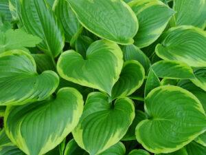 Diese Hosta ist die Unterpflanzung für Hydrangea quercifolia in Wurzerlsgarten