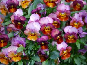 Viola cornuta blüht unaufhaltsam im Rosenrondell in Wurzerlsgarten