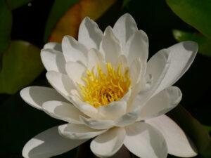 weißer Nymphea alba Sämling, im Teich von Wurzerls Garten