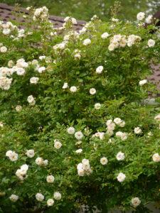 Rosa 'Ghislaine de Feligonde', Wurzerlsgarten
