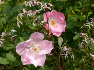 Rosa 'The Lady's Blush' umspielt von Gillenia trifoliata, Dreiblatt, in Wurzerlsgarten