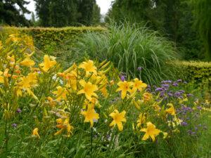 Hemerocallis 'Berlin Multi', Verbena bonariensis, Miscanthus, Fagus-Hecke, Insel Mainau