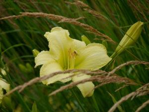 Hemerocallis 'So Lovely` (Lenington 1969) Calamagrostis x acutiflora `Karl Foerster', Insel Mainau