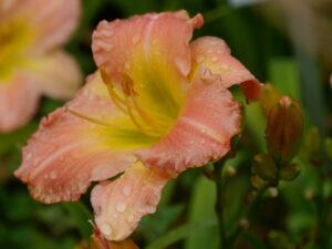 Hemerocallis 'Uerdinger Charme', Insel Mainau, (Kaiser 2008) DIP 102/12,5 DOR, lachs-pink, Schlund gelb-gruen, 4*, 40 Bl., Duft, gesunde, robuste, remontierende Züchtung aus Deutschland