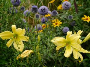 """Hemerocallis 'Limited Edition',Großblumige Taglilie USA Lambert 1969. Riesige, dreieckige zitronengelbe Blüten. Die früheste der """"Großen"""" im Juni. Gut verzweigt und sehr eindrucksvoll. Lange Blütezeit. Echinops Ritro 'Veitch's Blue' und Heliopsis helianthoides var. scabra 'Venus'"""