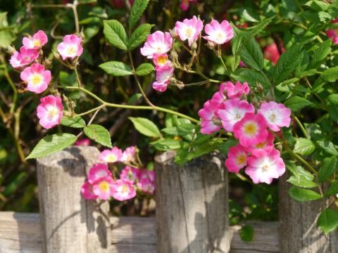Rosa 'Mozart', Garten Josefine Heinze, Grattersdorf