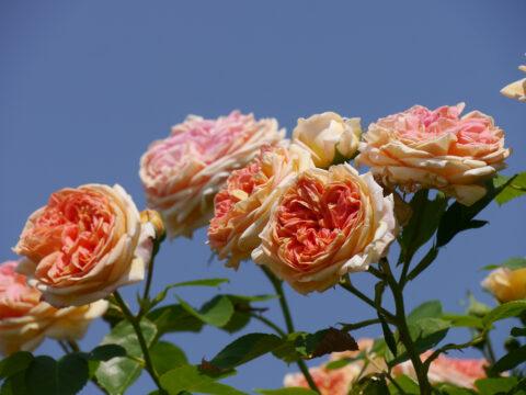 Rosa 'Alchymist', Garten Josefine Heinze, Grattersdorf