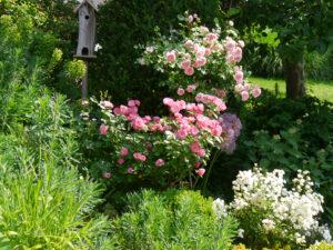 Rosen-Hochstamm 'Granny', links Rose 'Angela', vorne weiß Rose 'Flocon de Neige', Garten Josefine Heinze, Grattersdorf