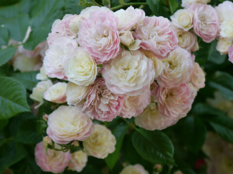 Rosa 'Bouget Parfait', Garten Josefine Heinze, Grattersdorf