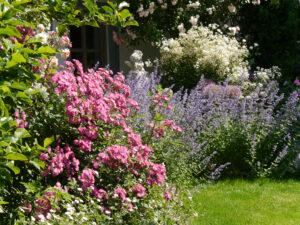 links Rosa 'Sibelius', rechts oben Rosa 'Bouget Parfait', Nepeta 'Walkers Low', Clematis recta 'Purpurea', Allium, Garten Josefine Heinze, Grattersdorf