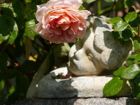 Rose 'Abraham Darby', Garten Josefine Heinze, Grattersdorf