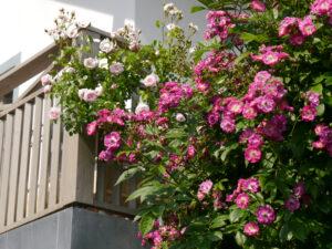Rosa 'Perennial Blue' und 'New Dawn' im Rosengarten Josefine Heinze, Grattersdorf