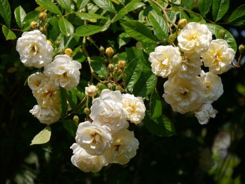 Rosa 'Ghislaine de Feligonde', Garten Josefine Heinze,Grattersdorf