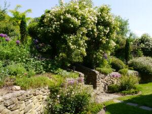Rosa 'Ghislaine de Feligonde', am Aufgang zwischen der Abstützmauer am Hang, Garten Heinze