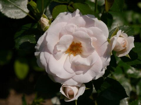 Rosa 'Aspirin', Rosengarten Josefine Heinze, Grattersdorf