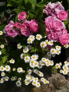 Rose 'Yolande d´Aragon', Tanacetum parthenium, Rosengarten Josefine Heinze, Grattersdorf