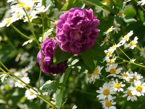 Rose 'Reine de Violettes' und Mutterkraut, Tanacetum parthenium, im Garten Josefine Heinze, Grattersdorf