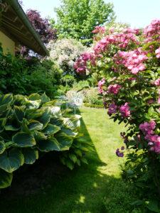 Rose 'Sibelius' und Hosta 'Sagae', Garten Josefine Heinze, Grattersdorf