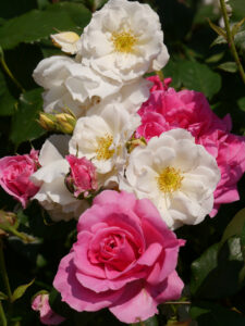 Moschata-Rose 'Penelope'  und die 'Parade' in pink