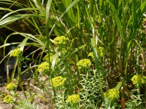 Euphorbien und Gräser bilden den Übergang zur Teichlandschaft.