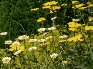 Margeriten und Schafgarten im Garten Josefine Heinze