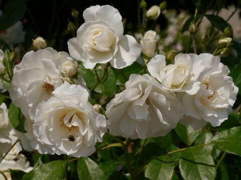 Rosa 'Easy to Cut', Rosengarten Josefine Heinze, Grattersdorf