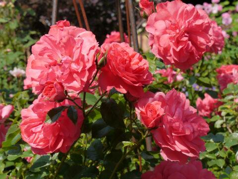 Rosa 'Rosarium Uetersen', Garten Josefine Heinze, Grattersdorf