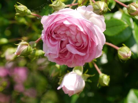 Rosa 'Jasmina', Rosengarten Josefine Heinze,