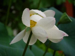 Lotosblume (Nelumbo nucifera)