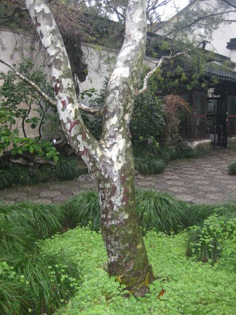 Stamm einer Pinus bungeana,  Tempel-Kiefer