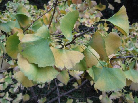 Ginkgo biloba mit Herbstfärbung in China